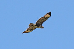 Buzzard over Canterbury (markkilner) Tags: england bird nature canon eos flying kent wildlife flight canterbury apo telescope 7d buzzard dslr manualfocus buteobuteo ukc universityofkent commonbuzzard primefocus televue kilner tv60 televue60 summerwatch