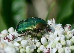Rose chafer ------Cetonia aurata (creaturesnapper) Tags: europe bulgaria beetles coleoptera rosechafer cetoniaaurata scarabaeidae