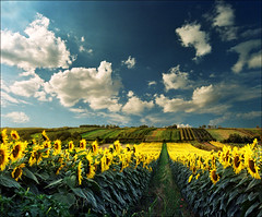 Which side is right ?...:))) (Katarina 2353) Tags: sunflower fields summer landscape serbiainspired outdoor photography photo katarina2353 katarinastefanovic nature film analog nikon flower sky cloud field which side is right