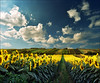 Which side is right ?...:))) (Katarina 2353) Tags: sunflower fields summer landscape serbiainspired outdoor photography photo katarina2353 katarinastefanovic nature film analog nikon flower sky cloud field which side is right explored