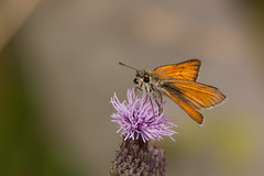 Skipper-1028 Explored (WendyCoops224) Tags: canon eos skipper explore 70d explored 100400mml oliveswood localbirdswildlife ©wendycooper