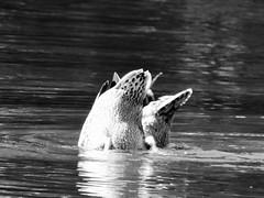 30:52 (kellypaniwozik) Tags: blackandwhite reflection blackwhite ripple ducks huronriver synchronized 3052 52weeksof2015