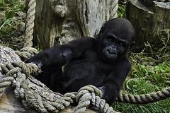 15 Month Old Gorilla, Jersey Zoo (Paul E. Dyer) Tags: travel summer baby holiday tourism 2004 nature animal animals mammal outdoors zoo nikon holidays d70 gorilla outdoor wildlife young naturalhistory tokina gerald jersey mammals gorillas 80400mm jerseyzoo f4556 durrel 8004000mmf4556