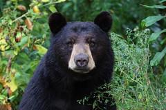 Black Bear (ashockenberry) Tags:
