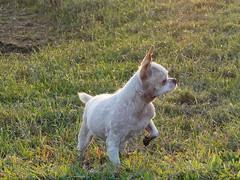 帥氣的女孩 (Guan_ting) Tags: 五股 疏洪生態公園 狗 動物 草地 陽光 dog sunshine