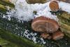 frozen ears (hph46) Tags: auriculariaauriculajudae judasohr pilz mushroom fungus schnee eis panasonic lumixg70