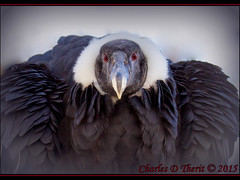 Andean Condor (ctofcsco) Tags: 1d 1div andeancondor canon condor denver ef200mm ef200mmf2lisusm eos1dmarkiv explore mark4 markiv supertelephoto telephoto unitedstates usa zoo 2015 animal bokeh colorado denverzoo explored geo:lat=3975024770 geo:lon=10494968870 geotagged nature northamerica statecapitol vinestreethouses wildlife wwwdenverzooorg