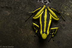 Stripes (antonsrkn) Tags: ameerega tropical tropics trivittata trivittatus striped poison frog dendrobatidae dendrobatid dart toxic aposematic colorful yellow pretty poisonous amphibian amphibia herp herpetology nature peru cordillera escalera conservation biology biodiversity beautiful aposemitism contrast bright jungle wildlife nikon nikkor