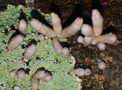 after rain P1110501 (Steve & Alison1) Tags: henningsomyces phallusonia pubescens white wooly phallus fungus sp abasidiomycete