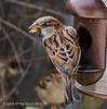 The Kitchen Window Again (jimgspokane) Tags: sparrows birds wildlife washingtonstate spokanewashingtonstate otw birdwatcher