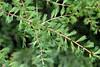 Larix laricina-10 (Tree Library) Tags: tamarack larixlaricina