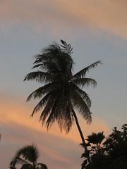 palm/sky/Honaunau (BarryFackler) Tags: tree nature plant sky silhouette clouds morning sunrise sunup dawn fronds palm palmtree pastels hawaii hawaiiisland hawaiicounty honaunau honaunaubay westhawaii sandwichislands polynesia tropical outdoor 2017 kona life hawaiianislands barronfackler barryfackler island bigisland early southkona ecology ecosystem flora