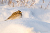 Lark (Esmaeel Bagherian) Tags: bird birds birdsphotography birdsofiran birdwatching birdwatcher lark esmaeelbagherian nikon nikond7000 tamron tamron150600 winter snow cold 2017 1395 اسماعیلباقریان پرندگان پرندگانایران پرندهنگری پرنده سرما زمستان برف چکاوک