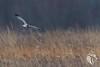 Northern Harriers of Mercer - 10 (RGL_Photography) Tags: bif birds birdsinflight birdsofprey circuscyaneus grayghost henharrier marshhawk mercercounty mothernature nikonafs600mmf4gedvr nikond500 northernharrier raptors wildlife wildlifephotography lawrencetownship newjersey unitedstates us