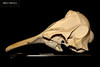 Skull lateral (JRochester) Tags: rissos dolphin grampus griseus skull nmsz1992622