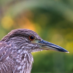 Bird's Eye (NEXtographer) Tags: bokeh eyecontact color crop sony mirrorless animal emount wild closeup feathers bright neworleans bird outside birthday outdoors eye a7rii beak catchlight