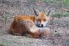 Redfox (Trutnauphotography) Tags: redfox rotfox wildanimal animal nature natur wildlife