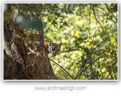 Wild India (Archna Singh Photography and Design Studio) Tags: tigers tiger royalbengaltiger ranthambhore wildindia wildlife incredibleindia canon india