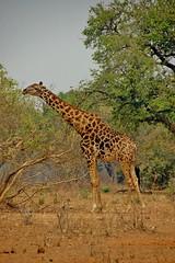 Stretch...giraffe - Botswana (stevelamb007) Tags: giraffe africanwildlife africa botswana kasane chobenationalpark stevelamb nikon d70s nikkor18200mmvr wildlife