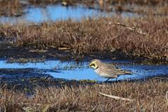 Horned Lark (golforchid) Tags: hornedlark eremophilaalpestris lark songbird salisbury beach state reservation