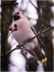 Waxwing, Bolton (Pitheadgear) Tags: bolton northwest lancashire waxwing waxwings bird birds ornithology