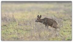 une pause pipi (guiguid45) Tags: nature sauvage animaux mammifères forêt loiret d810 nikon 500mmf4 chevreuil chevrette capreoluscapreolus brocard roedeer ree