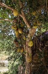 Jackfruit (Michael Ranzau) Tags: kambodscha jackfruit cambodia tree kep