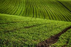 Siamo in un campo di grano...#Explore# (Gianni Armano) Tags: campo di grano lu colline monferrato verde colori inverno foto gianni armano photo flickr alessandria piemonte italia