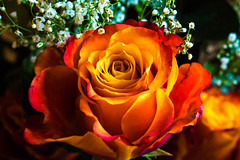 Roses (NamelessPhotographs) Tags: rose roses flower flowers valentines holiday celebrate gift color colorful light bright pink orange white green plants photography golden big new nikon nature garden earth peace love happy red floral romance romantic yellow 365 lowclasscelica taefrank namelessphotographs