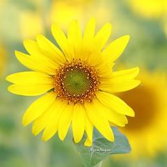 รูปนี้.. รูปที่ 1,000 ใน Instagram  ดอกทานตะวัน ดอกไม้ที่ที่กล้าท้าแดด ท้าตะวัน และรู้สึกว่าจะเป็นดอกไม้ที่ใครๆก็รัก ได้ยินเสียงเพลงแว่ว ๆ มาในความคำนึง เสียง สุเทพ วงศ์กำแหง เนื้อเพลงพูดถึงดอกไม้ไทยๆ กลิ่นหอม แต่ หาไม่เจอซะที .. 😊😊😊:blu