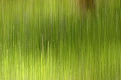 Green grow the rashes (strachcall) Tags: trees abstract blur colour forest landscape movement woods impressionist icm incameraeffects intentionalcameramovement