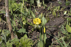 "Glacier Lily • <a style=""font-size:0.8em;"" href=""http://www.flickr.com/photos/63501323@N07/18529265028/"" target=""_blank"">View on Flickr</a>"