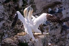 "Alcatraz atlantico ""Morus bassanus"" (alimoche67) Tags: inglaterra mar minolta sony aves alpha slt acantilado reinounido cria bempton farnes avesmarinas nidificacion translucentmirror josejurado 77ii"