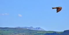 Black kite - Milano negro (Milvus migrans) (Paco_NaturePhotography) Tags: naturaleza kite nature birds animals tiere milano vogels aves panasonic uccelli pjaros blackkite animales animaux animais dieren oiseaux uccello passaros vogeln naturalezacautivadora dmcfz72 pacovalero