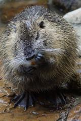 "Biber, Beaver, ""I! gonna ROCK this Club!"" (jensfechter) Tags: pool club fur beaver elements washing fell wsche putzen biber meetmeatthepool igonnarockthis jensfechter"