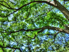(mahler9) Tags: sky green leaves branches july arboretum jaym 2015 mahler9