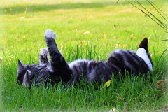 Ninja enjoying life (mammamiya71) Tags: white green grass cat grey legs ben tail paws katt gr grn grs vit svans tassar