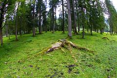 Stump (C_MC_FL) Tags: wood tree green nature forest canon photography eos austria tirol sterreich moss fotografie natur sigma wideangle fisheye stump trunk grn wald baum tyrol moos maurach 10mm weitwinkel baumstamm fischauge baumstumpf 60d