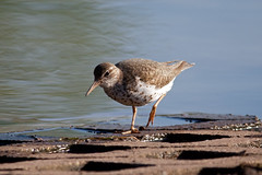 Spotted Sandpiper (Al409) Tags: bird nature water outdoors wildlife shore spotted aquatic sandpiper wader