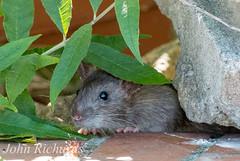 Peekoboo (john.richards70) Tags: animal rodent rat sheffield hide