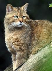 europese wilde kat duisburg JN6A0515 (j.a.kok) Tags: wildcat duisburg wildekat felissilvestrissilvestris europesewildekat europeanwildcat