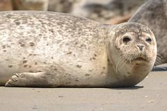 377gewone zeehond, Phoca vitulina, Seehund, harbor seal, Seal Harbor