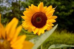 Sun Flower (NC Mountain Man) Tags: flower nikon dof arboretum sunflower d3200 ncmountainman phixe