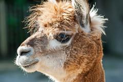 20150801_16 - braun (grasso.gino) Tags: alpaca nature animals zoo tiere nikon natur llama lama dortmund alpaka d3000