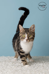 Ellie Ewing-2 (trinabauer) Tags: blue 2 cats background august adoptables kittenspaws pawscatsadoptablesaugust2bluebackgrounddallas dallaskittens ellieewing