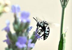 thyreus ramosus (Roberto Gramignoli) Tags: thyreusramosus insetto insetti animale animali bianca fiore fiori succhiare nettare polline insect fly