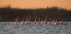 Flamingo's in the Netherlands (Bart Hardorff) Tags: 2016 barthardorff grevelingemeer phoenicopteridae phoenicopterusroseus thenetherlands december flamingo nieuwetonge zuidholland nederland zuid holland