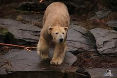 Tierpark Berlin 26.12.2017 005 (Fruehlingsstern) Tags: eisbär polarbear wolodja rothund nashorn stachelschwein tierparkberlin canoneos750 tamron16300
