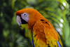 Stunning Macaw (C. P. Ewing) Tags: macaw bird birds animal animals avian multicolored orange red blue green yellow stunning beautiful nature natural outdoor outdoors wildlife