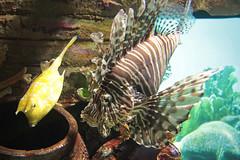 "Looking for Nemo (Pavlo Kuzyk) Tags: fish lionfish aquarium animal ""animalkingdom"" canon malaysia"